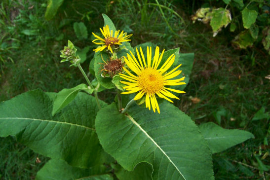 http://www.catstailfarm.com/photos/Elecampane-Inula-helenium-in-bloom.jpg